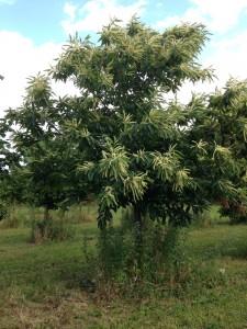Spisekastanje-træ 2-1